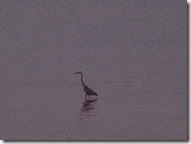 Heron at dusk